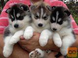 AKC registriranih Sibirski Husky mladiči