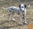 Dalmatinec belo rjave pike star pol leta
