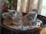 Škotski fold mačić plava