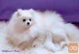 Ekskluzivno muško štene belog Pomeranskog špica - beli BOO