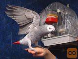Oddam Afriškega sivega papagaja