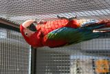 Papigo Ara Chloroptera, samičko, dve leti staro prodam