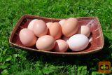 Domača kokošja jajca proste reje