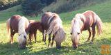 Šetlandski poni družino PRODAM