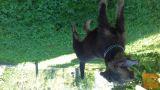 samica nemški lovski terier