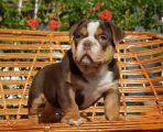 Colour English bulldog puppies