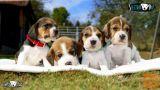 Beagle mladiči/mladički – rezervacije! (SLIKE/+Pro/HD VIDEO)
