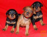 Patuljasti pinč i čivava štenci na prodaju