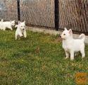 Švajcarski beli ovčar štenci