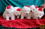 Samoyed puppies for sale.