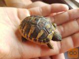 Grška kopenska želva - testudo hermanni
